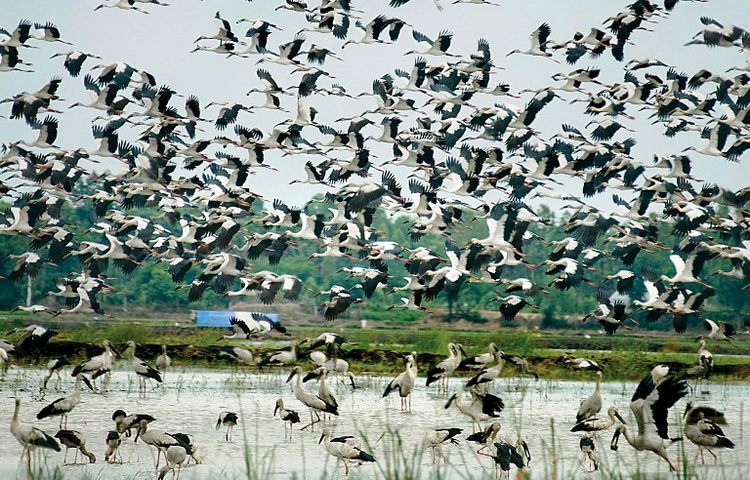Thousands of birds flying back to their nests in the sky – Photo: Internet
