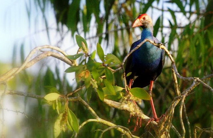 Tra Su Cajuput Forest is the home of more than 70 bird species- Photo: Internet