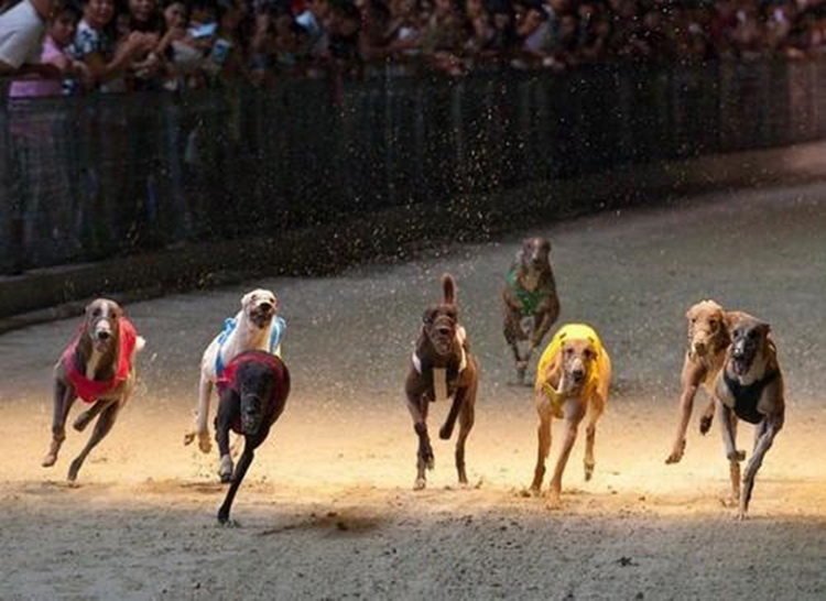 hose trained dogs in the race always make spectators excited - Photo: Internet.