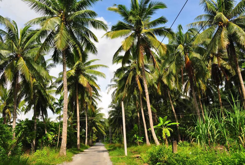 Coconut is the core tree in Ben Tre Vietnam, so Ben Tre has been called the homeland of coconut - Photo: Internet