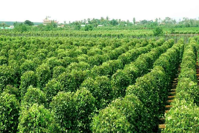 People plant pepper not only for economic purpose but also for cultural and tourism values - Photo: Internet