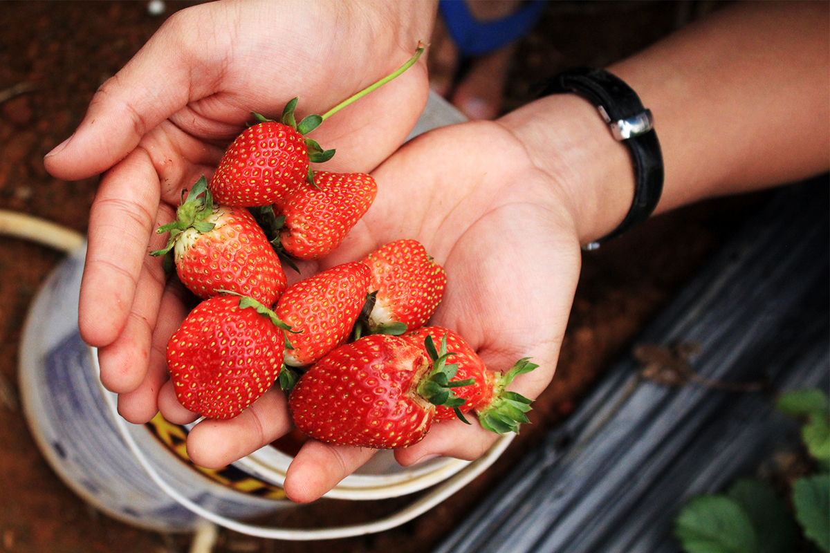 Tourists harvest strawberry - Photo: Internet