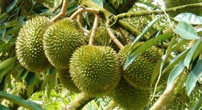 Durian (or Sầu Riêng) - Photo: Internet