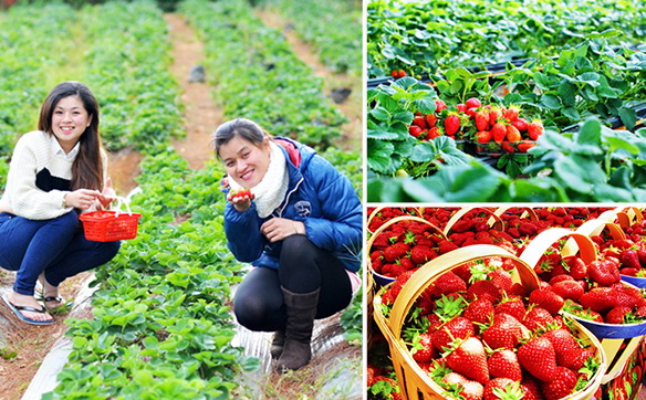 "In Da Lat (Lam Dong Province), there're many strawberry farms offering to tourists such service of sightseeing and fruit-picking, which are ""love spots"" to numerous visitors - Photo: Internet"