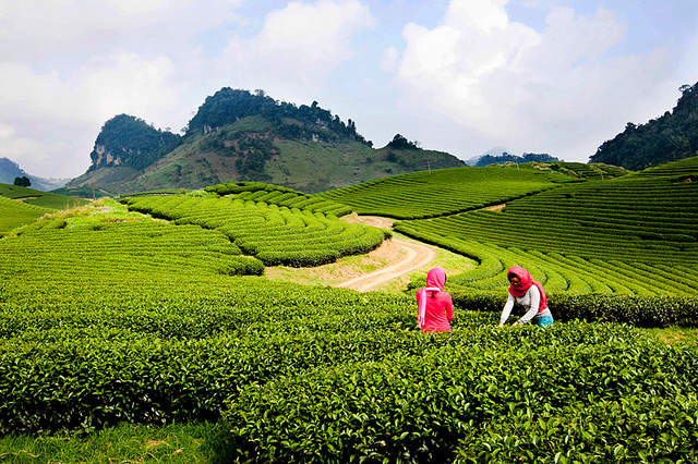 Once in a lifetime experience of being workers at tea farms in Moc Chau Valley (Son La Province) would get you to know about the job of picking tea-leaves - Photo: Internet