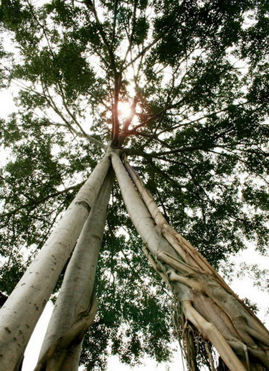 Banyan tree with one top and three roots on Mount Chua Chan, Dong Nai Province, often attracts attention of many people - Photo: Internet