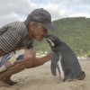 Penguin Dindim travels 8,000 km every year to visit his rescuer